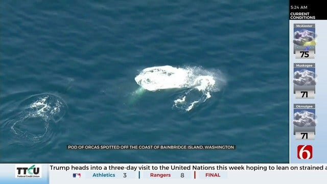 WATCH: Orcas Spotted Off The Seattle Coast