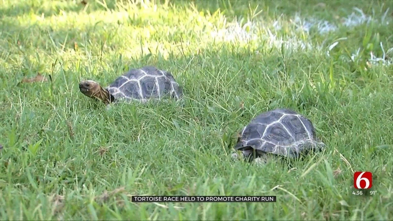 Baby Tortoises Race At The Tulsa Zoo