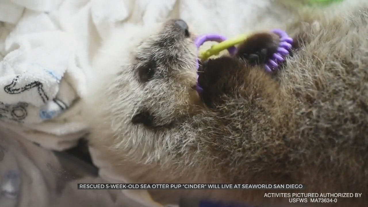 WATCH: Sea Otter Gets 2nd Chance