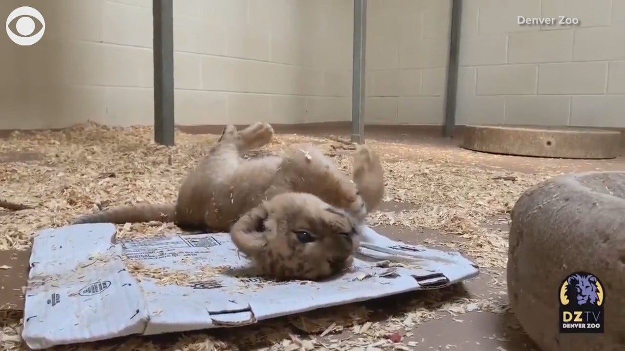 WATCH: Denver Lion Cub Loves To Play