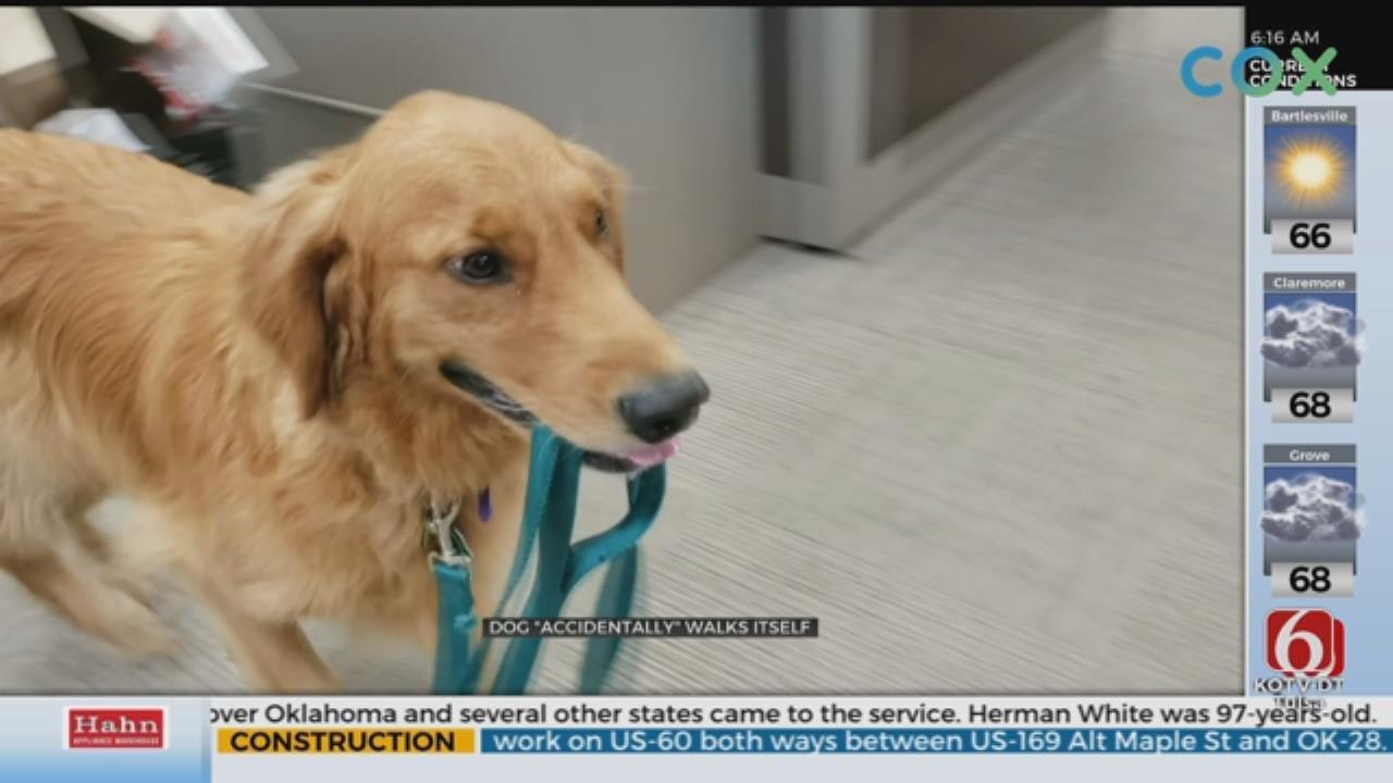 WATCH: Fenn The Dog Takes Himself For A Walk