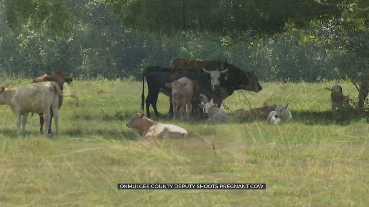 State Dept. of Agriculture Investigating After Okmulgee Co. Deputy Shoots, Kills Pregnant Cow