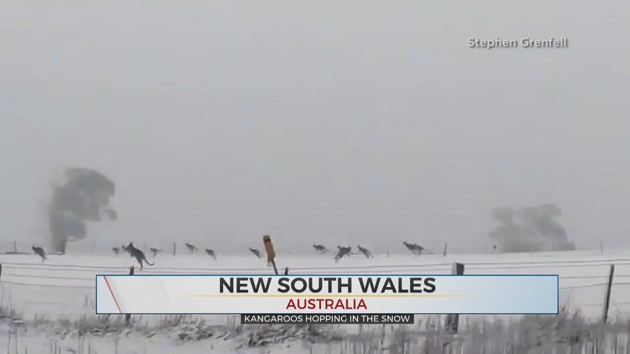 WATCH: Kangaroos Run Through A Winter Wonderland