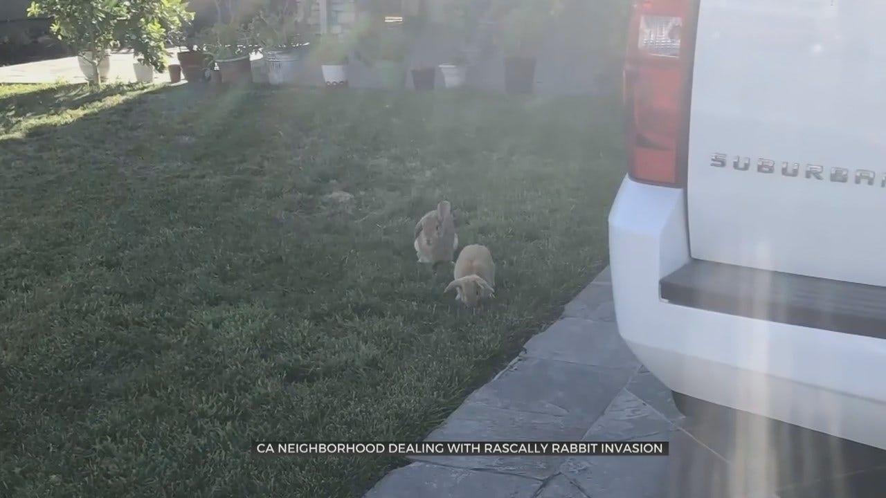 Rabbits Invade California Neighborhood