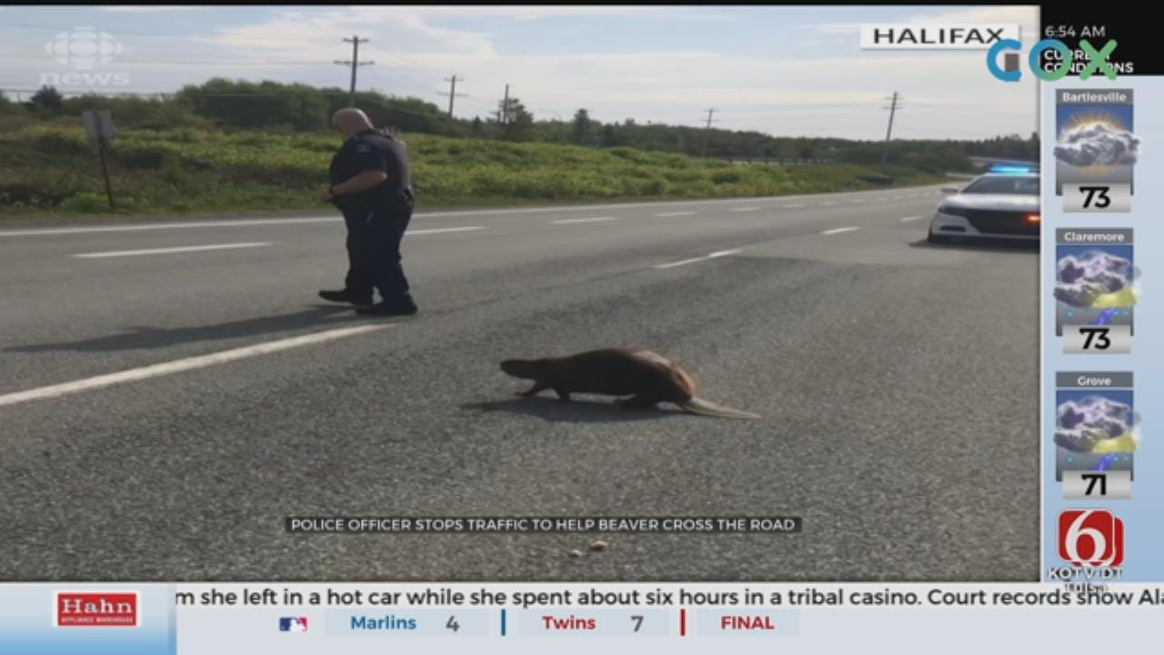 WATCH: Police Stop Traffic To Help Beaver Cross A Road