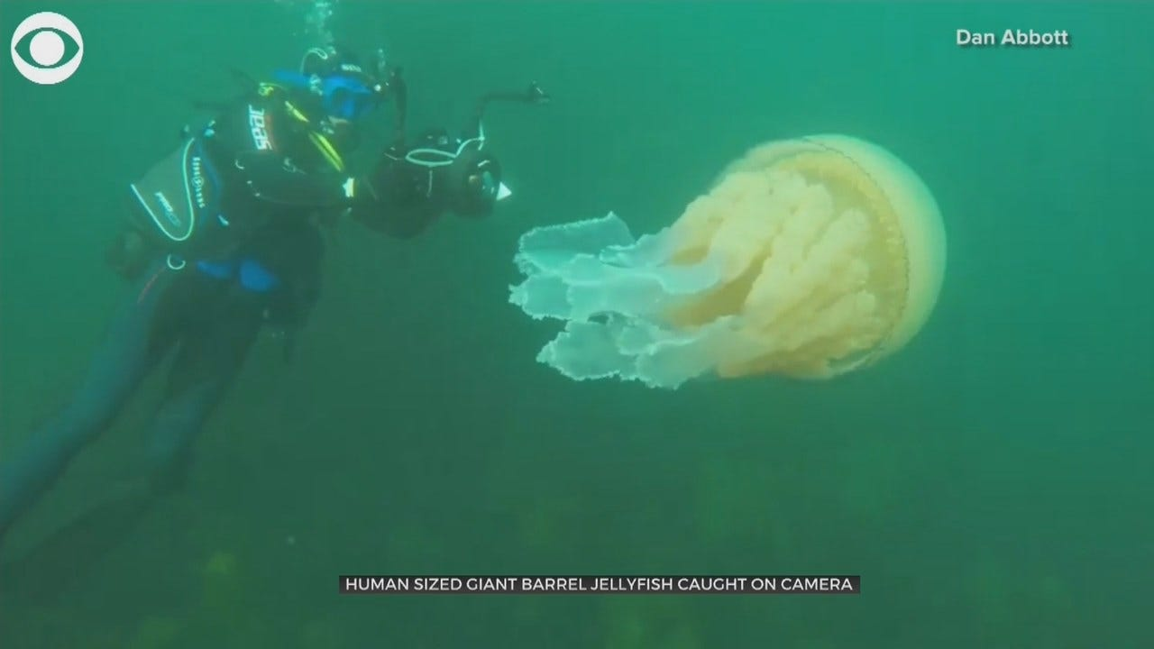 WOW: Human-Sized Giant Barrel Jellyfish Spotted By Divers Off U.K. Coast
