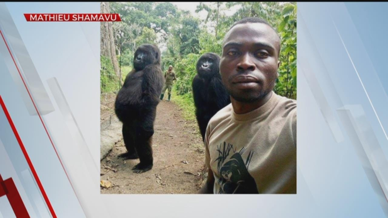 WATCH: Park Ranger Takes Selfie With Two Young Gorillas