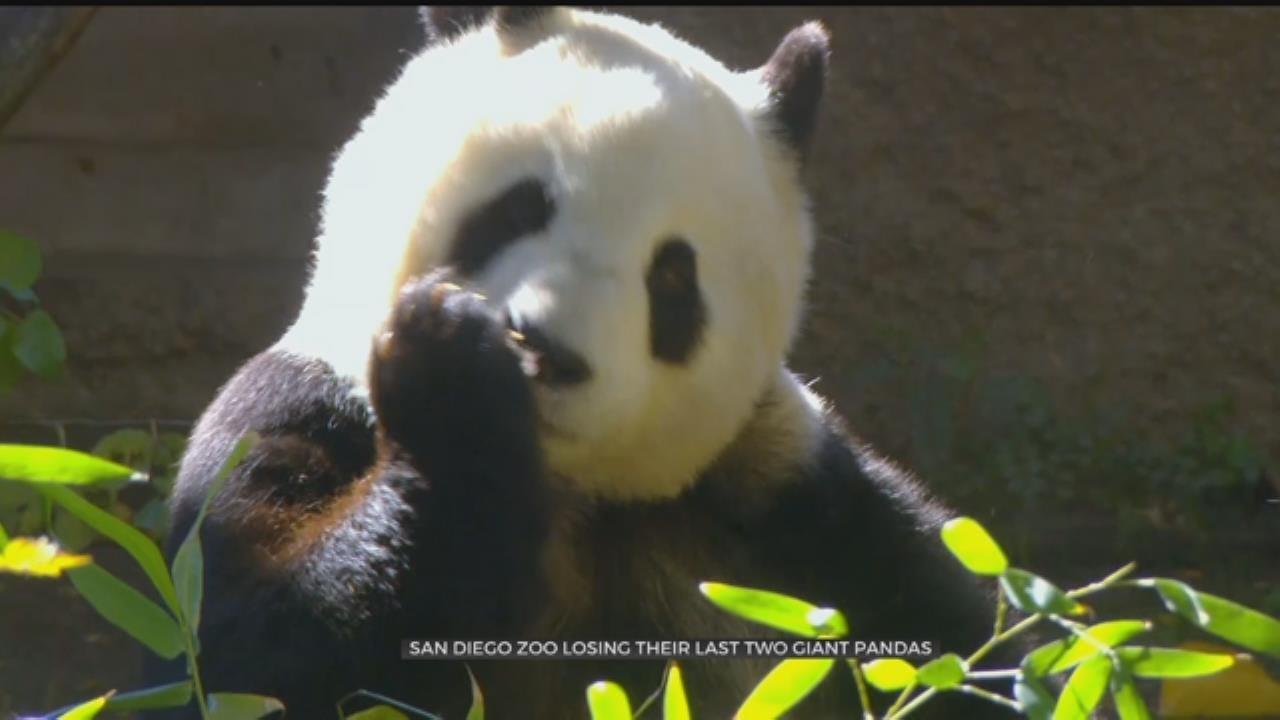 San Diego Zoo Says Goodbye to Pandas