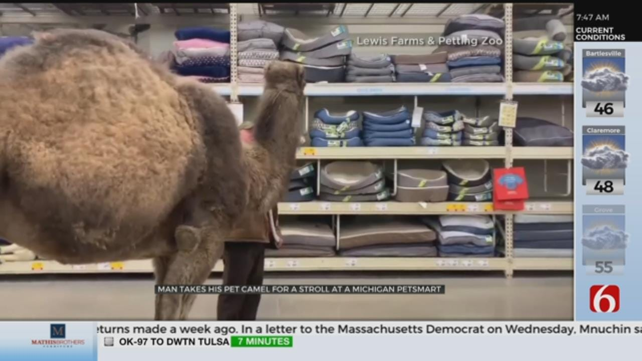 WATCH: Camel Takes A Stroll In Pet Store