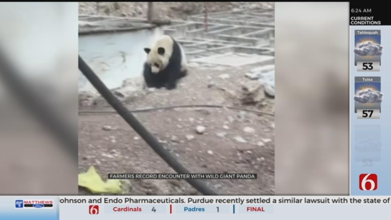 Wild Giant Panda Caught On Camera