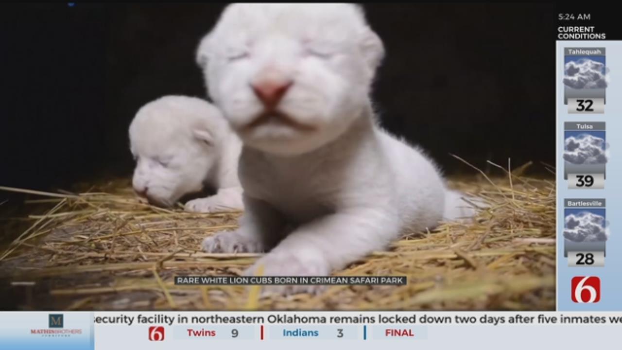 WATCH: Rare White Lion Cubs Born