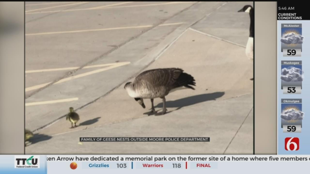 WATCH: Canada Goose, Hatchlings Make The Moore Police Department Home