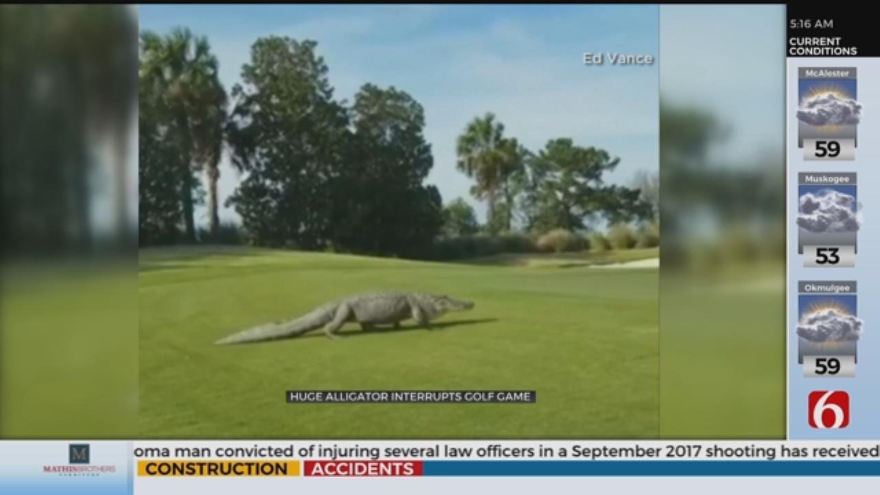 WOW: Enormous Alligator Takes Stroll On Georgia Golf Course