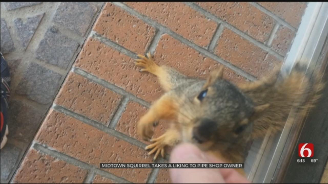 Squirrel Takes A Liking To Tulsa Pipe Shop Owner