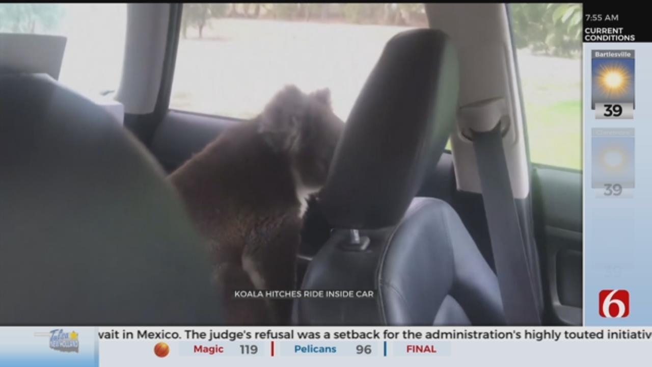 WATCH: A Koala Cools Off In A Car