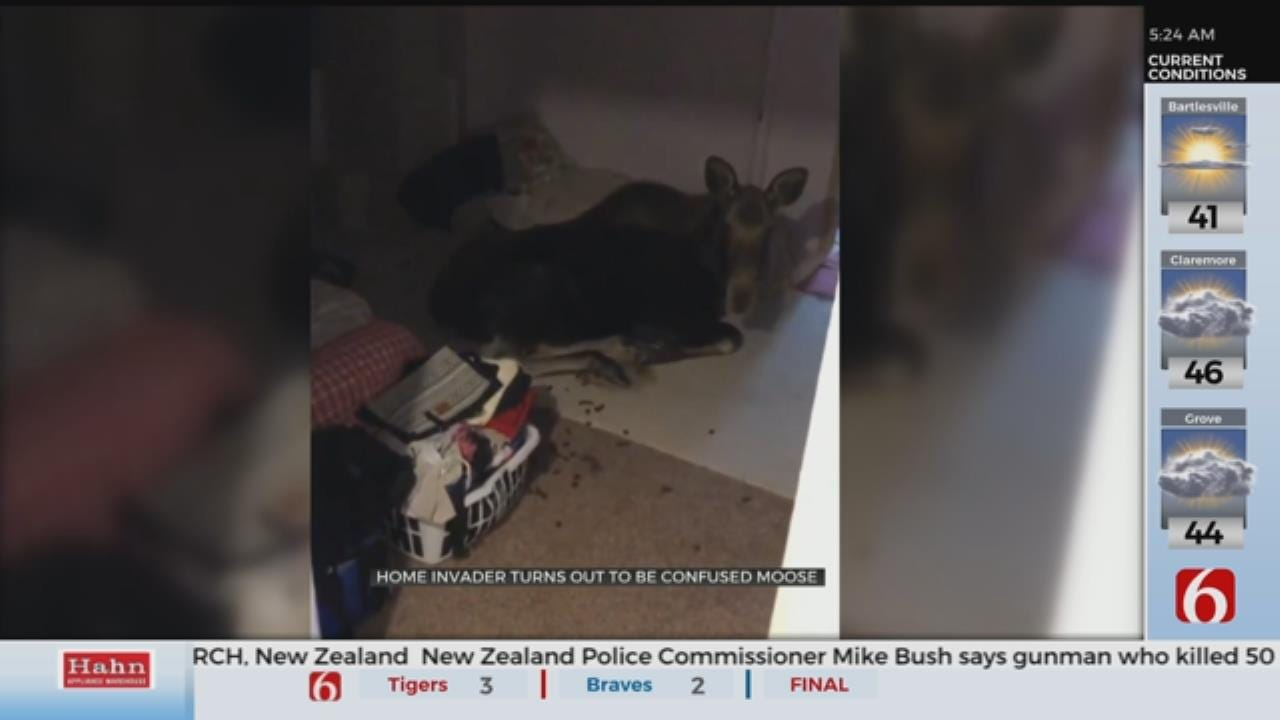 Colorado Home Burglar Turns Out To Be A Moose