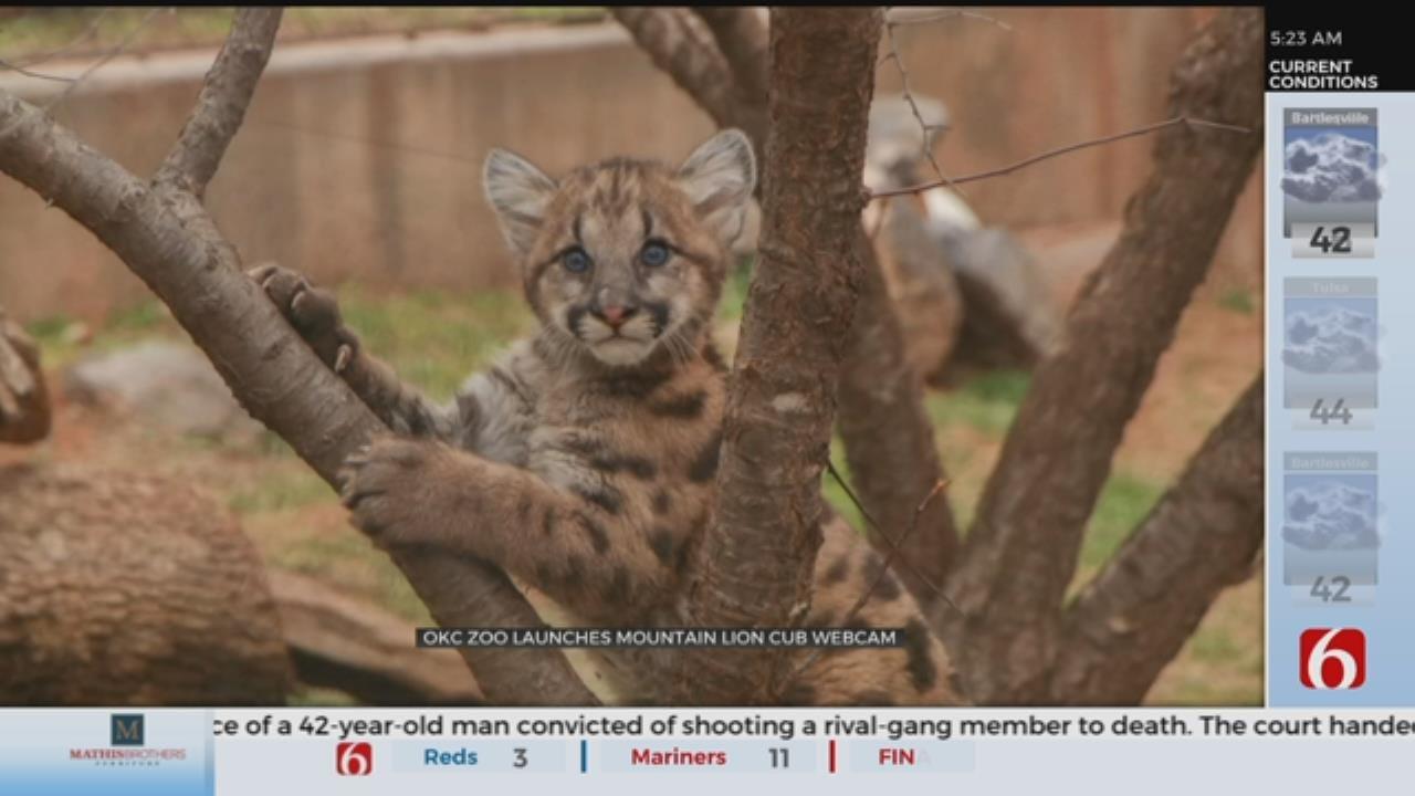 OKC Zoo Launches Cougar Cub Cam
