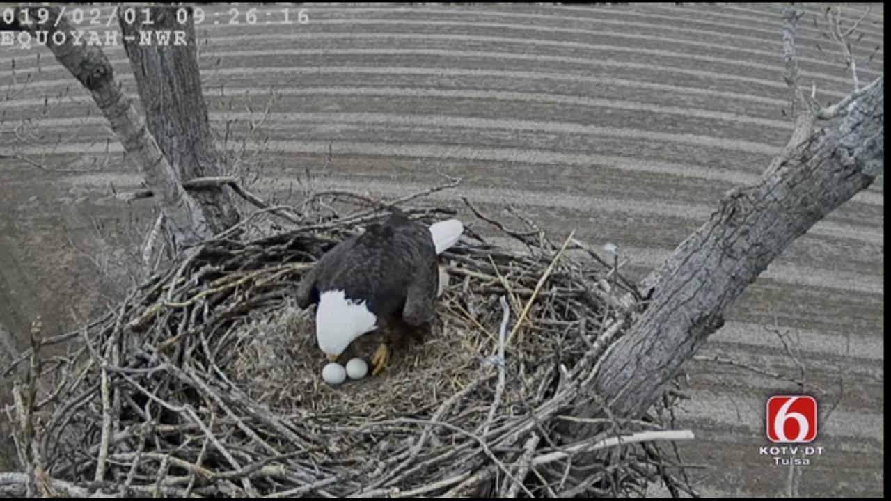 Bald Eagles Incubate 2 Eggs On Oklahoma Nest