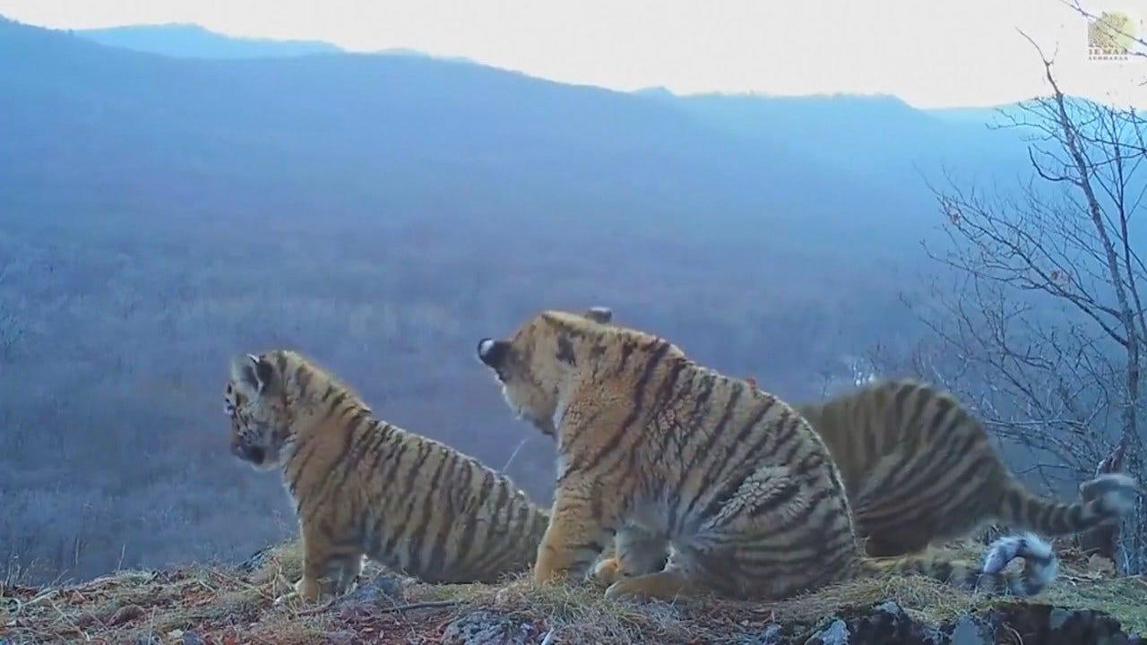 Hidden Camera Captures Rare Amur Tiger Cubs At Play