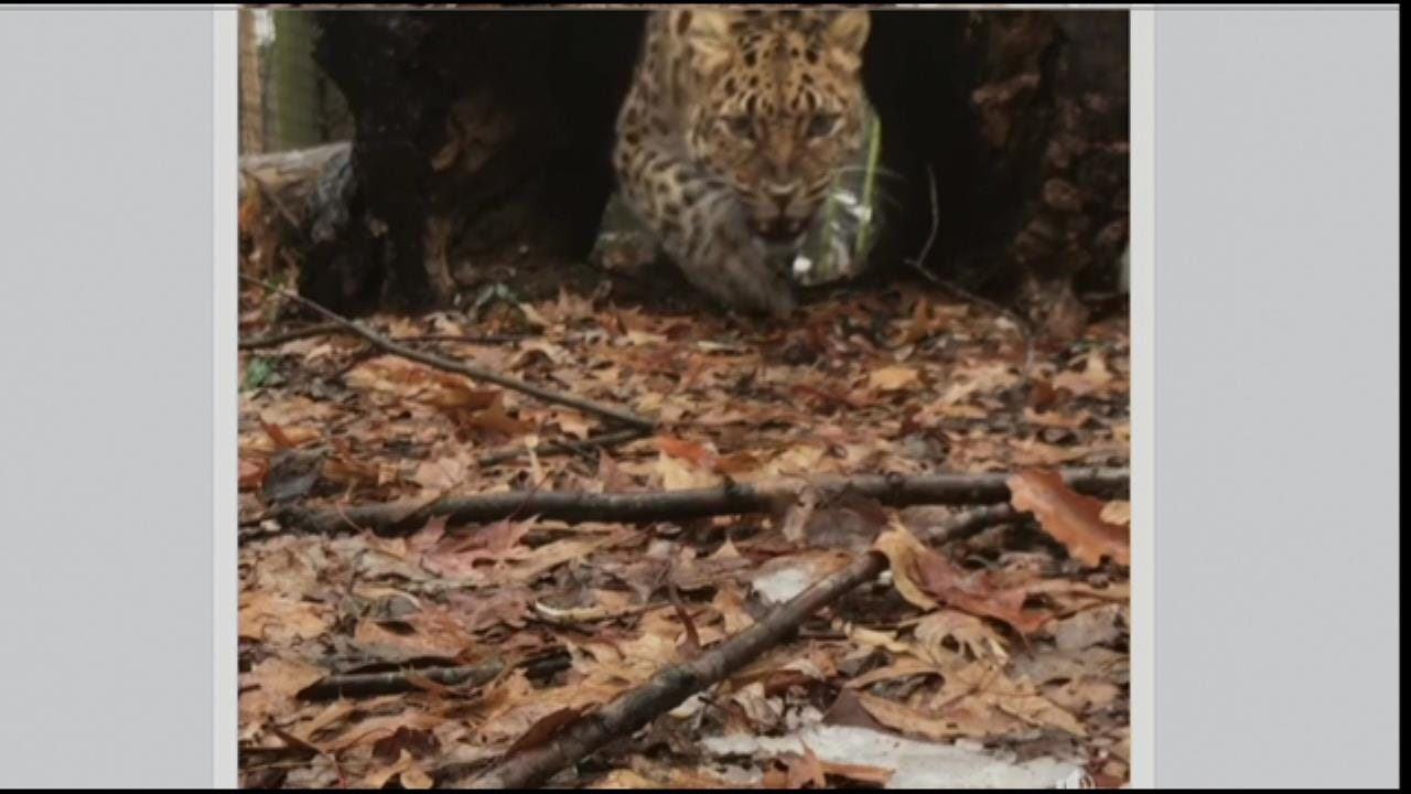 Kansas City Zoo Keeper Gets Video Of Hungry Amur Leopard