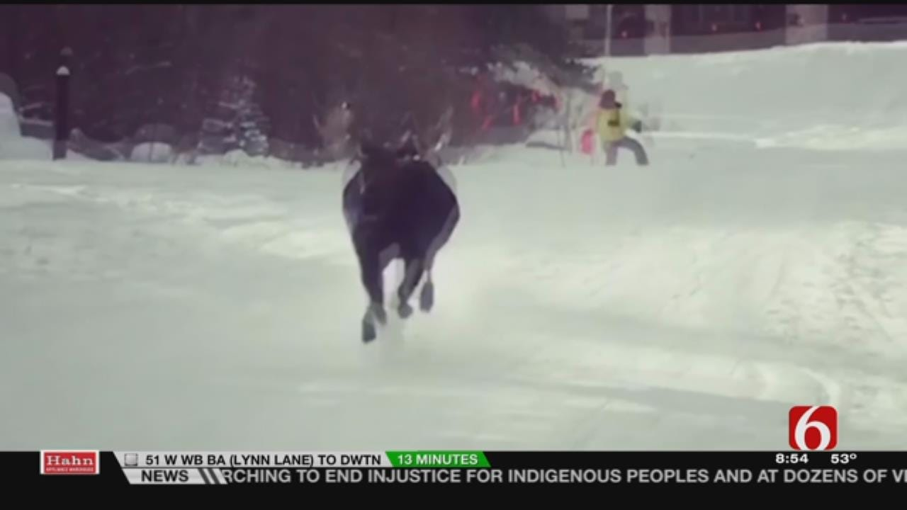 Bull Moose Chases Skiers In Colorado