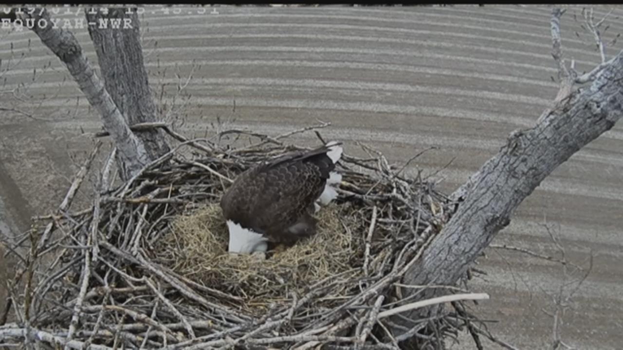 Camera Shows Bald Eagles Incubating 2 Eggs On Oklahoma Nest