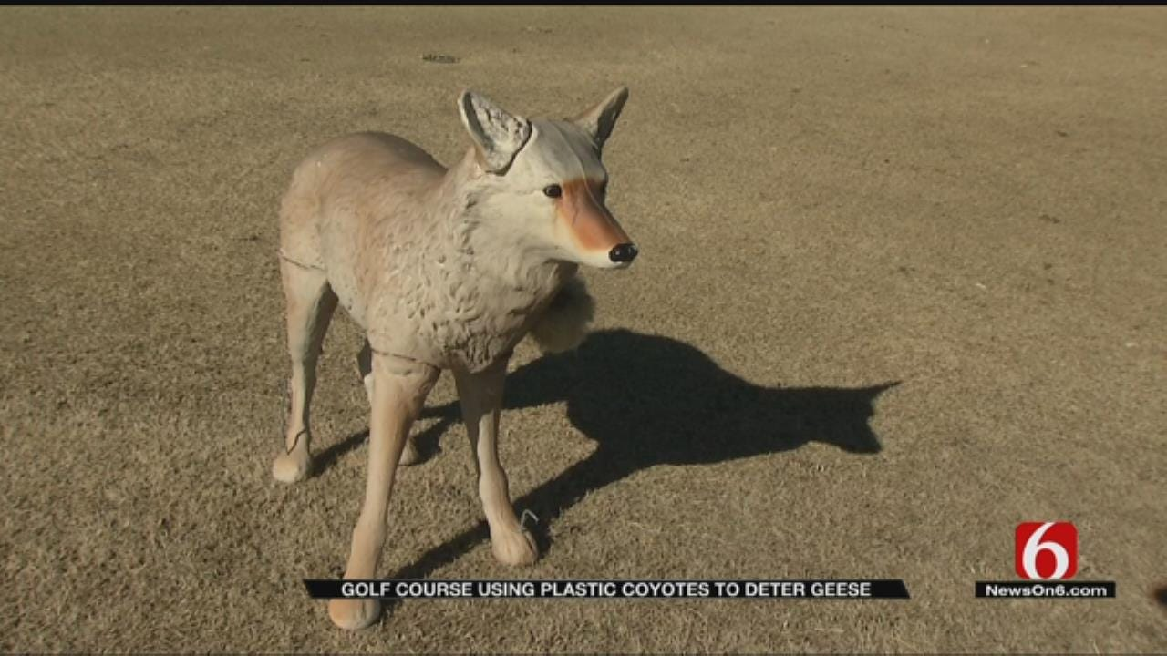 Plastic Coyotes Scaring More Than Just Geese At Bailey Ranch Golf Course