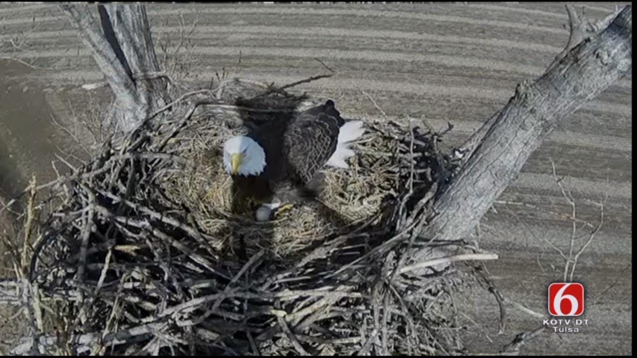 Eagles Welcome Second Egg On Oklahoma Nest