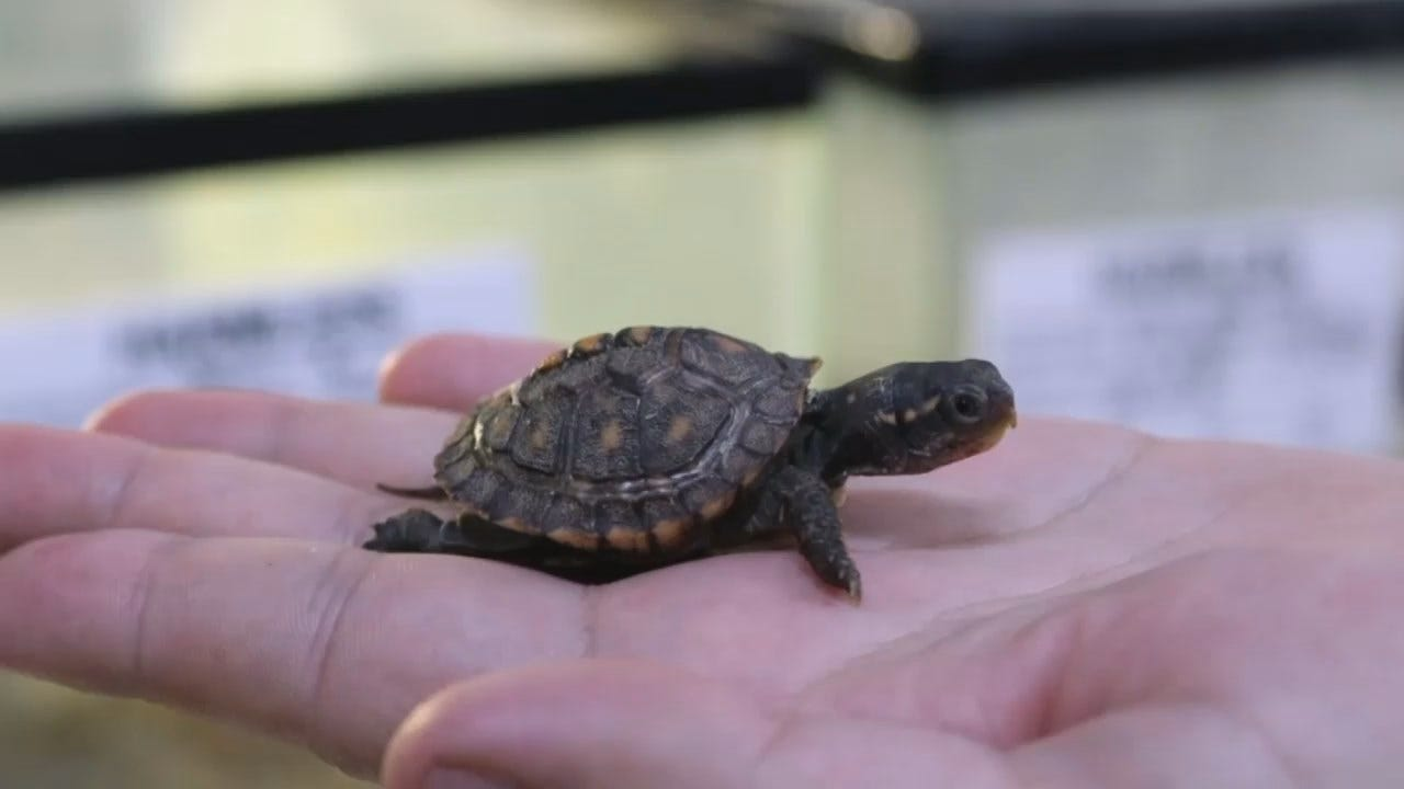 Baby Turtles Born At The Tulsa Zoo