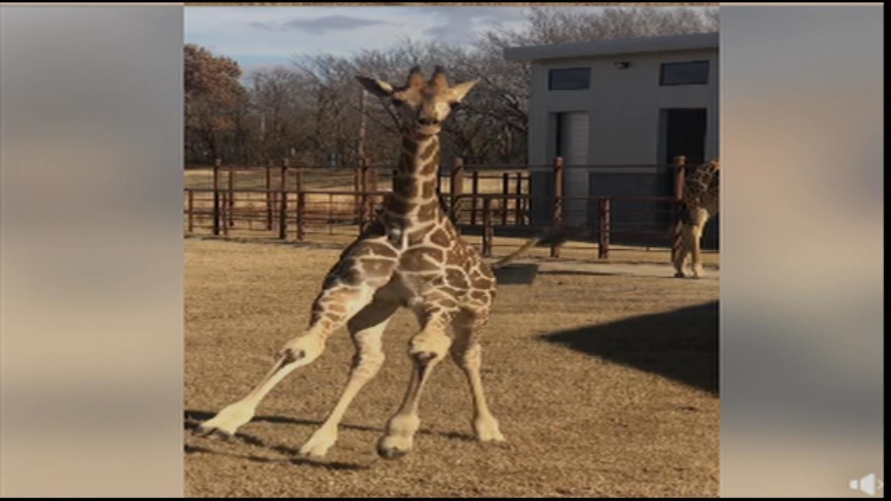 Tulsa Zoo's Baby Giraffe Will Make Your Day