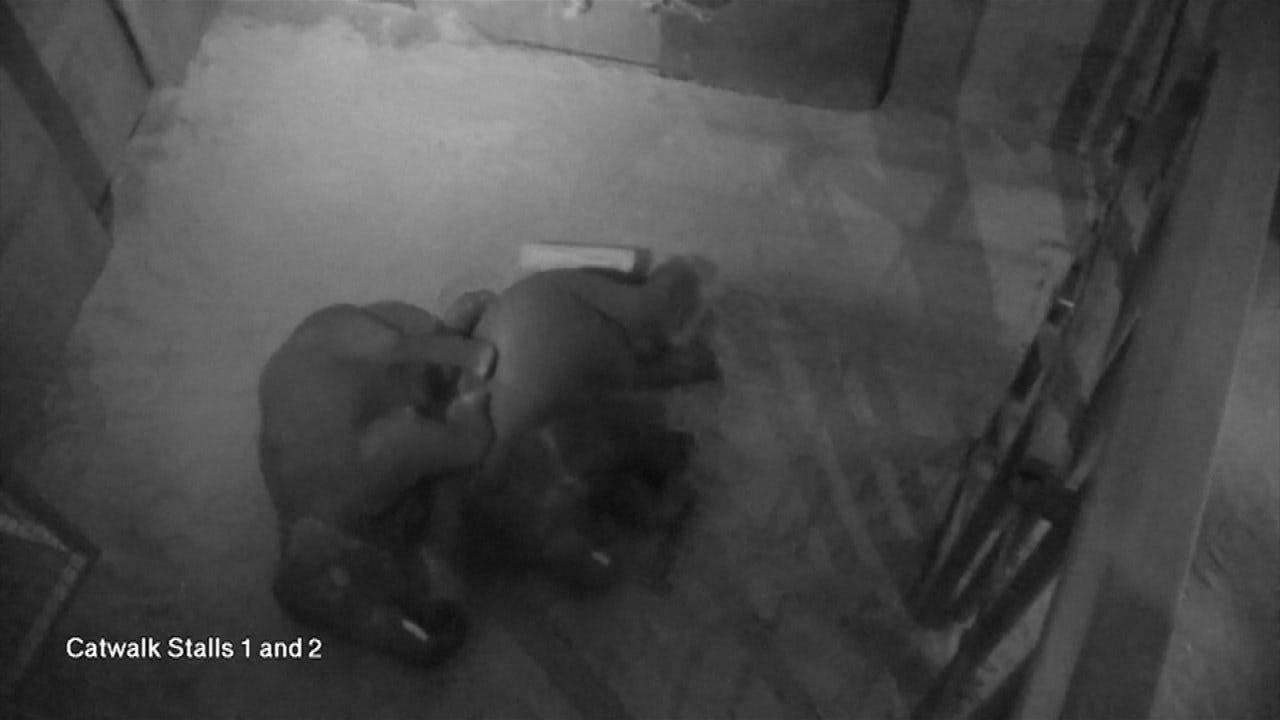 WATCH: Juvenile Elephants Cuddle At Denver Zoo