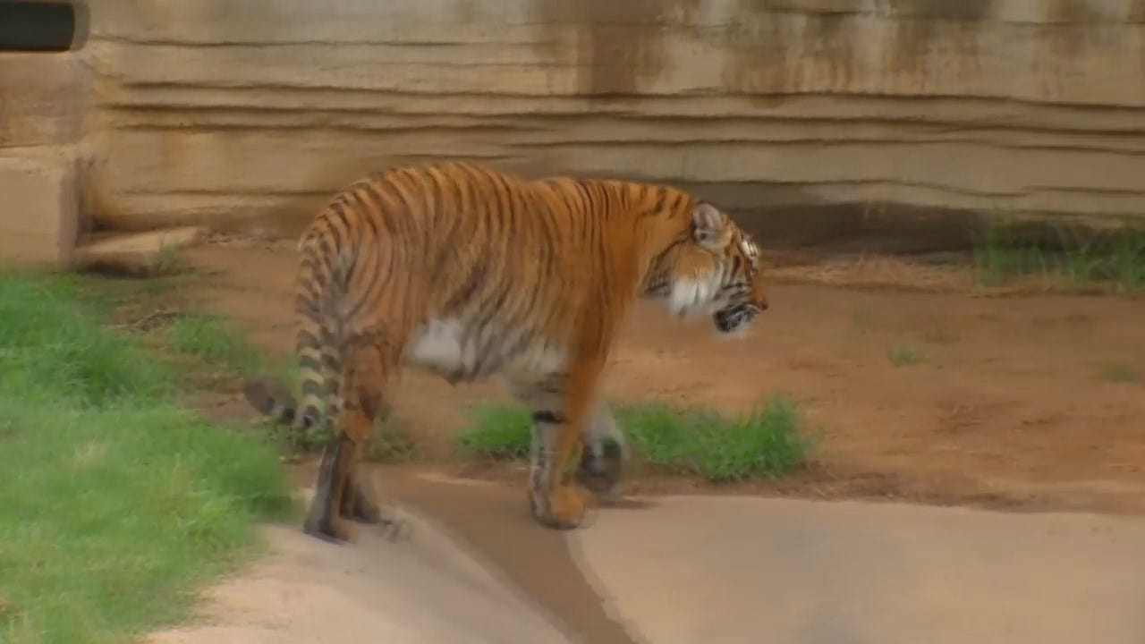 WEB EXTRA: The Tiger Exhibit At The Tulsa Zoo