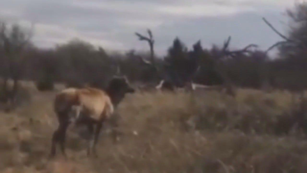 WEB EXTRA: Oklahoma Elk Rescue Caught On Video