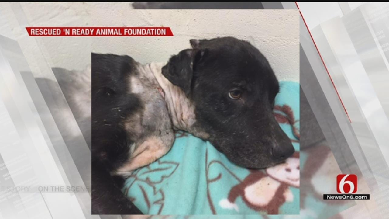 Tulsa Dog Found With Metal Wrapped Around Neck Slowly Recovers