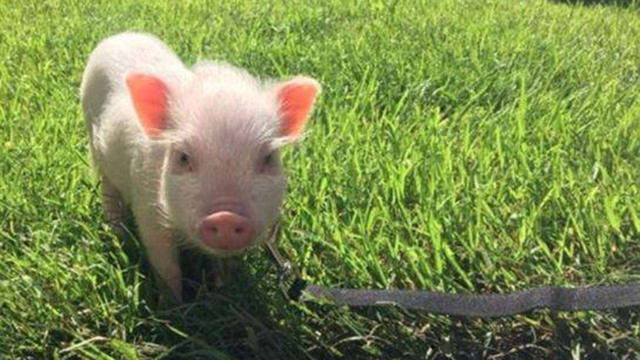 Missing Fayetteville Pig Reunited With Owner