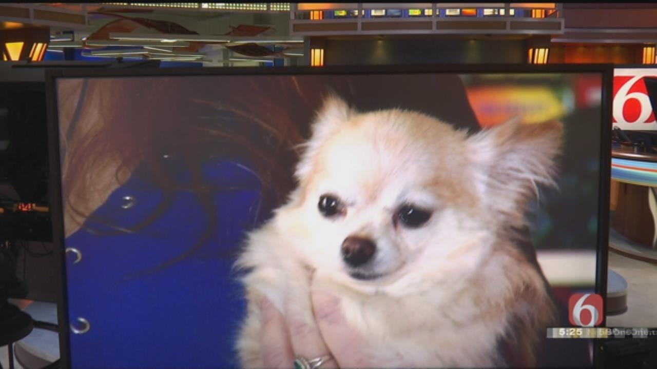 Nowata Chihuahua Gains Thousands Of Social Media Followers