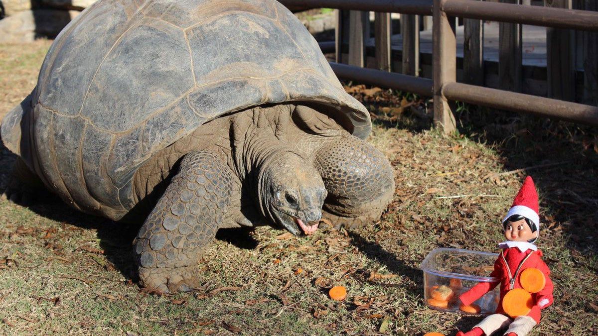 Tulsa Zoo Tortoise Bribed By Elf On Shelf