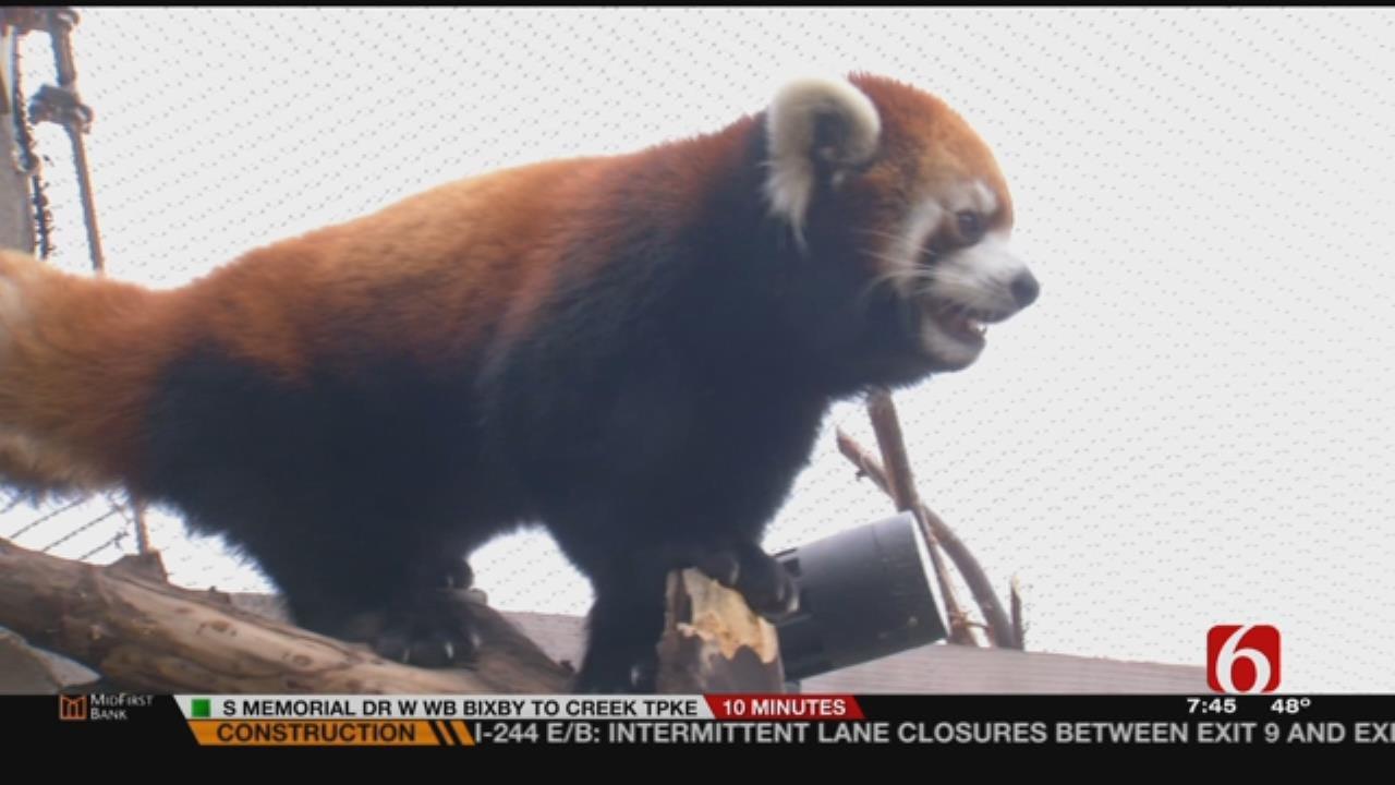 Meet Bo, The Tulsa Zoo's Red Panda