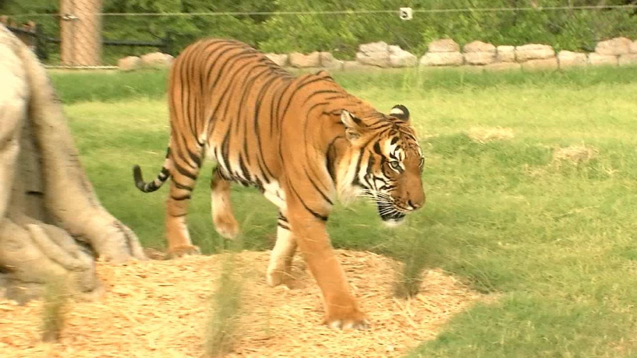 Wild Wednesday: Malayan Tiger Exhibit At The Tulsa Zoo