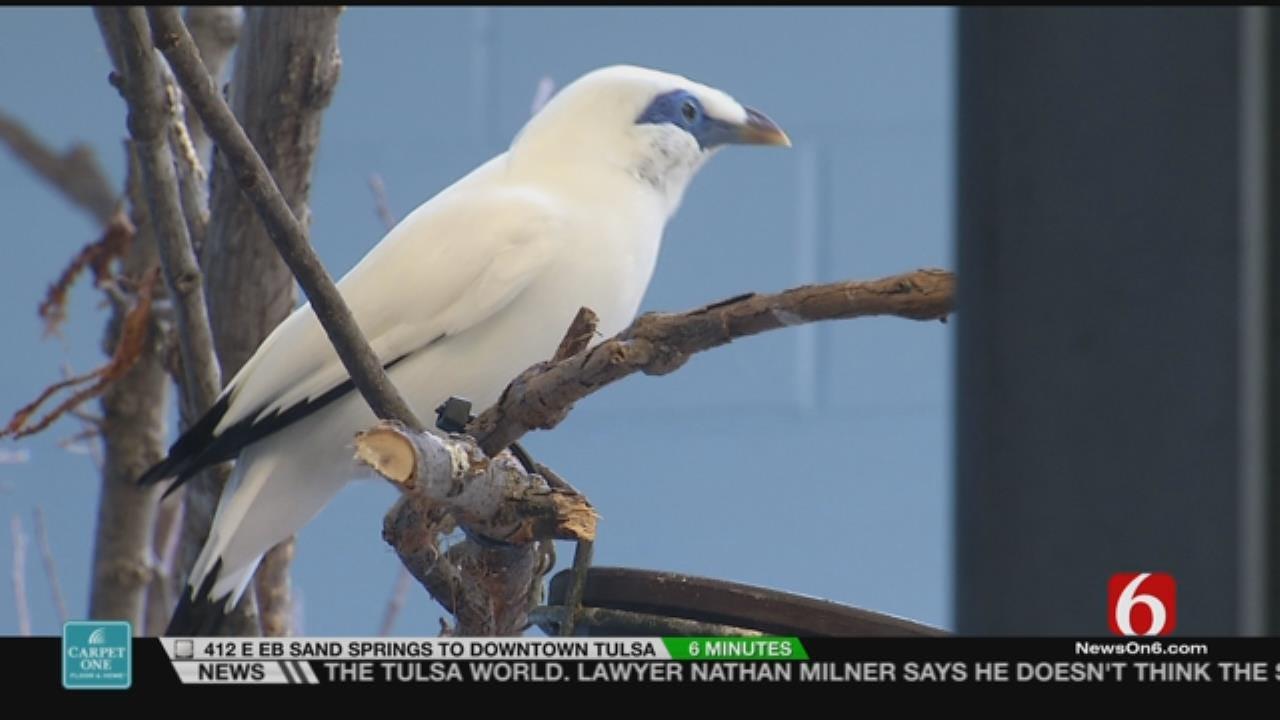 Wild Wednesday: Tulsa Zoo's Bali Myna Birds