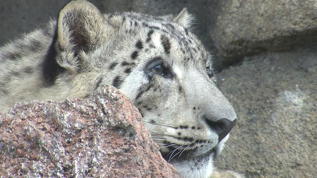 Snow Leopards In New Exhibit At Tulsa Zoo