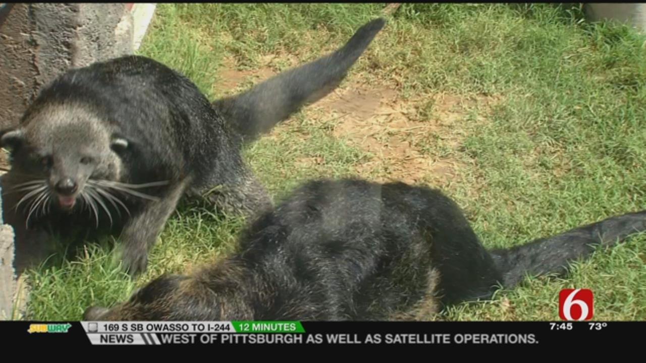 Wild Wednesday: Binturongs In The Tulsa Zoo's Lost Kingdom Exhibit