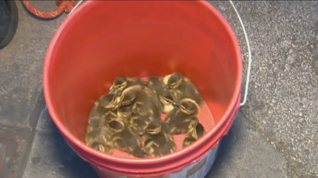 WEB EXTRA: Firefighters Rescue 12 Ducklings From Storm Drain