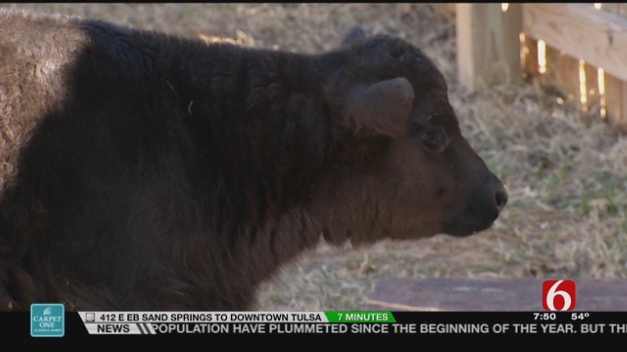 Wild Wednesday: New Dexter Steer At The Tulsa Zoo