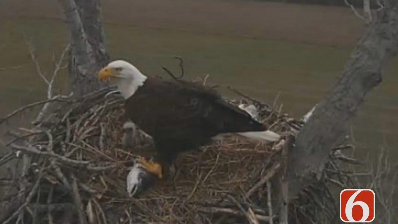 Oklahoma Eagle Nest Camera Back On Line