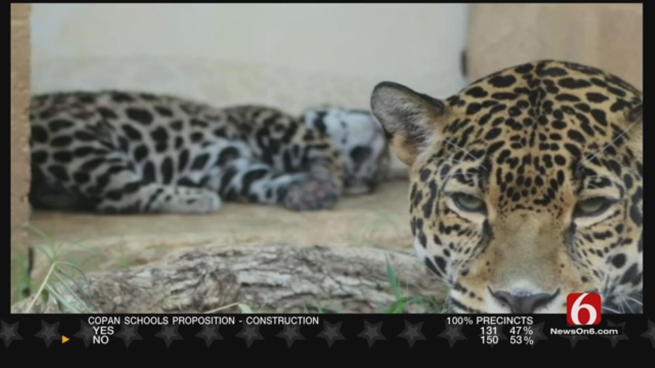 Wild Wednesday: Tulsa Zoo's Newest Jaguar Gender Reveal