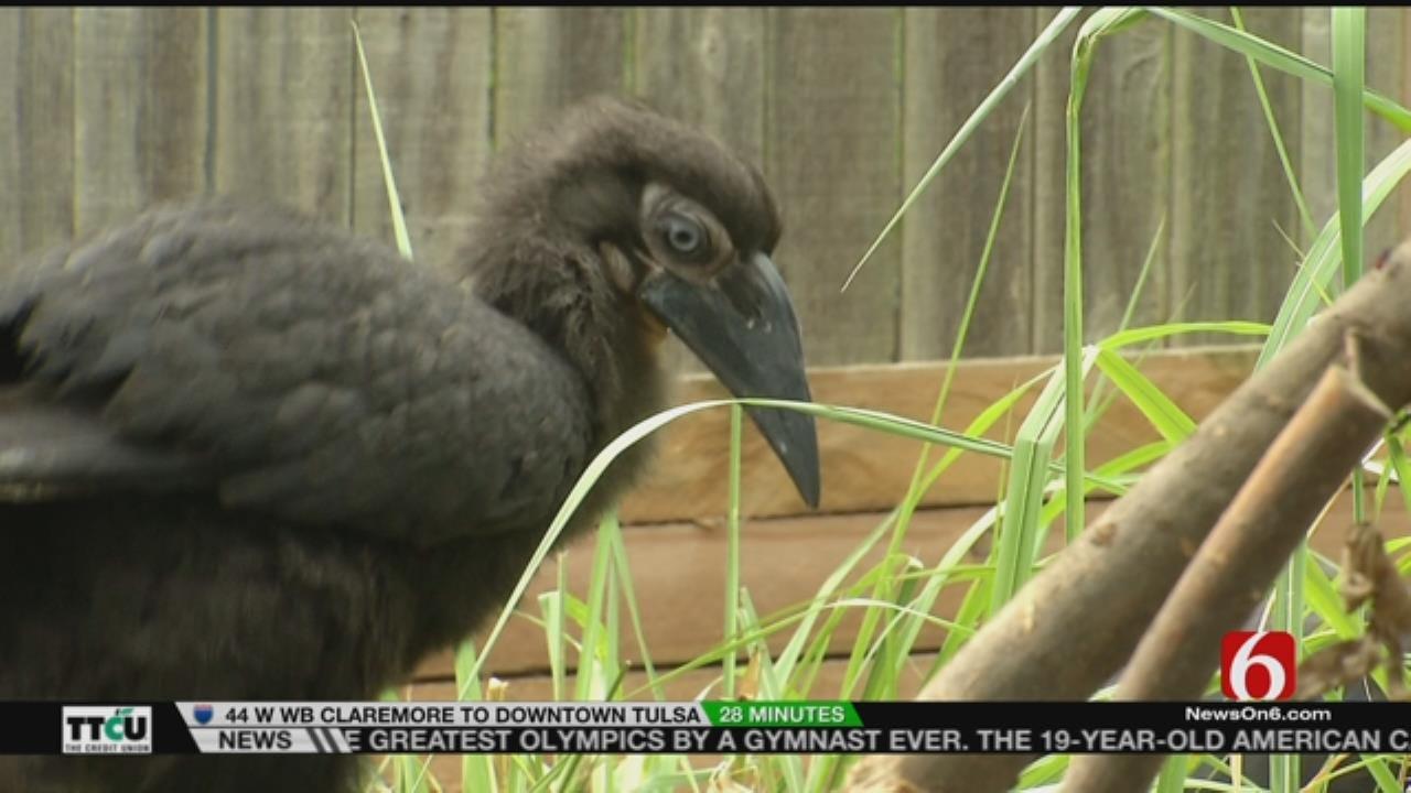 Wild Wednesday: Tulsa Zoo's Southern Ground Hornbill Chick