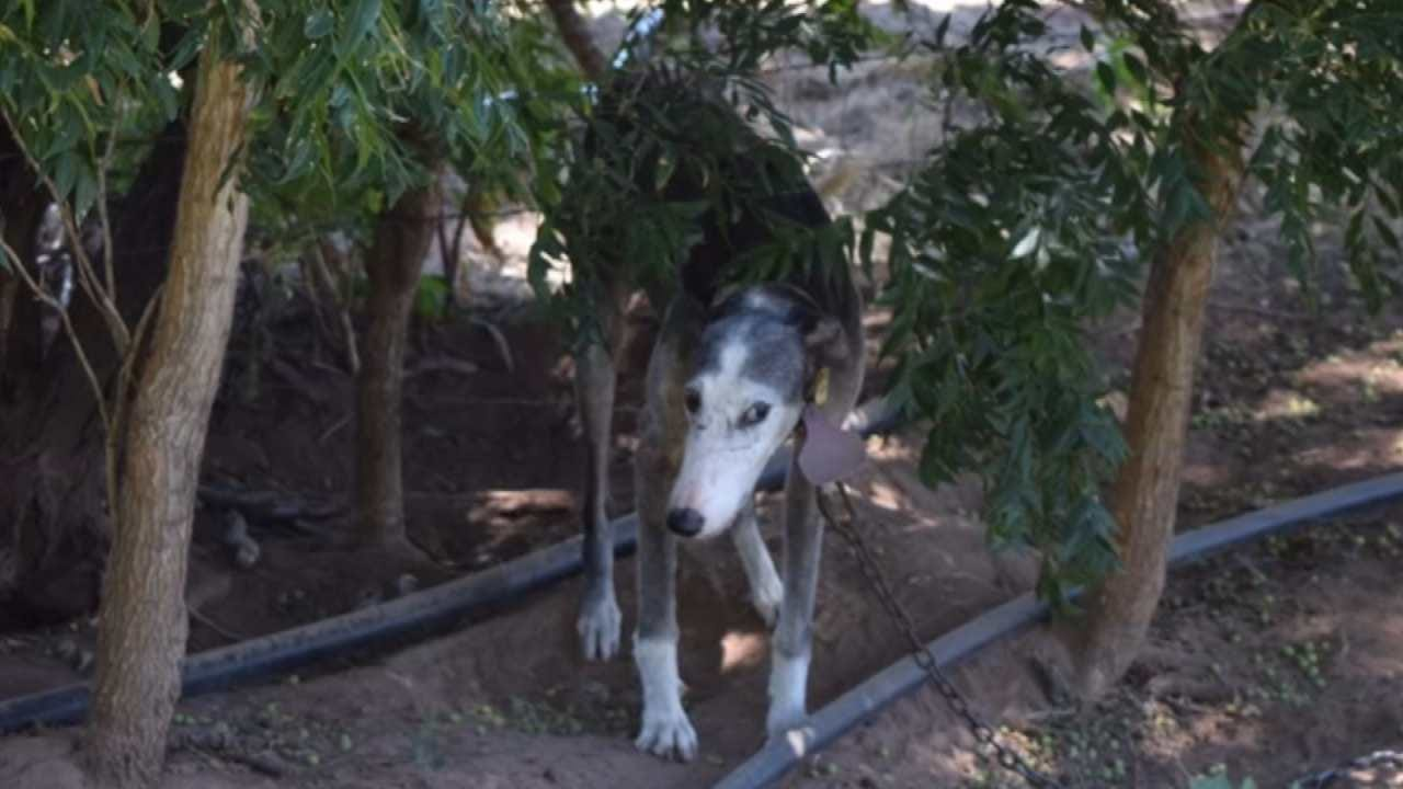 Greyhounds Rescued From 'Deplorable' Conditions, Tulsa Humane Society Says