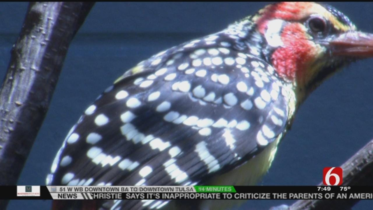 Wild Wednesday: African Barbets At The Tulsa Zoo