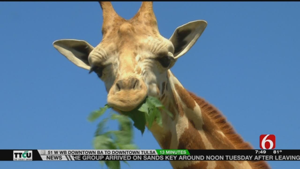 Wild Wednesday: Visit With Tulsa Zoo's Newest Giraffe